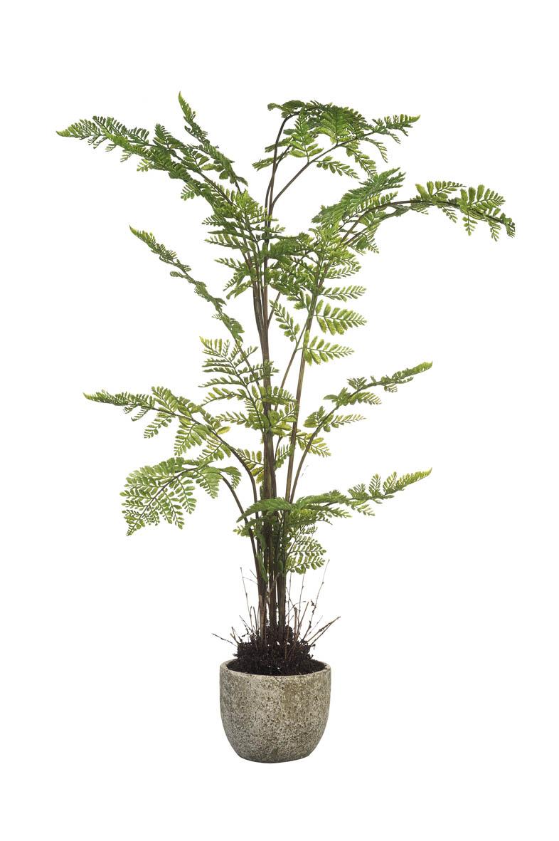 Arachniodes Potted Plant